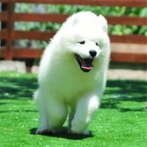 出售活体纯种熊版萨摩耶犬白色微笑天使幼犬宠物狗狗活体天使宠物