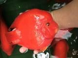 大量批发台湾血鹦鹉,发财鱼等各类观赏鱼。