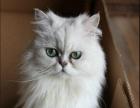 健康纯种金吉拉猫 驱虫疫苗齐包健康包养活可上门挑选
