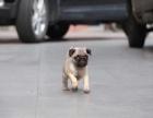 巴哥 视屏直播选狗 可基地实地挑选 专车送货上门