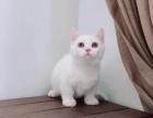 猫咪批发,长期稳定,价不高