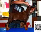 纯种杜宾犬狗狗出售