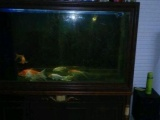 观赏鱼 1000元