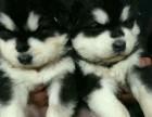 西安狗狗之家长期出售高品质 阿拉斯加 售后无忧