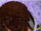 纯血统的贵宾幼犬,要的联系