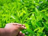 日照绿茶功效与作用,饮用方式
