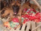 马犬幼犬出售,血统小马犬价格多少,怎么训练马犬幼犬