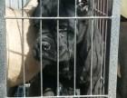 连云港市专业卡斯罗狗场个人卡斯罗出售