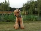 英国赛级血统宠物狗出售万能梗犬纯种幼犬白梗狗狗