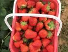 2018年2-6月成都天府新区合江巧克力草莓采摘实惠低价