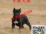 纯种卡斯罗价格 双血统卡斯罗犬 卡斯罗幼犬出售
