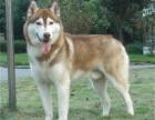 买狗找我 上海哪里有卖纯种哈士奇,哈士奇多少钱?
