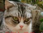 短毛猫1500元,美短,英短蓝猫,起司,低价转让