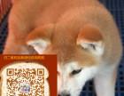 秋田犬哪里出售 最贵的秋田多少钱
