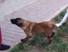 三门峡猎犬养殖基地 三门峡格力犬价格 惠比特犬价格