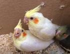 出售人工繁殖玄鳳鸚鵡 吸蜜鸚鵡 小太陽鸚鵡 品相好