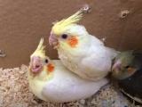 出售人工繁殖玄凤鹦鹉 吸蜜鹦鹉 小太阳鹦鹉 品相好