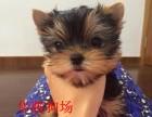 佛山哪里有卖约克夏幼犬价格多少纯种约克夏价钱多少约克夏多少钱