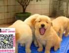 重庆金毛图片价格 重庆金毛买狗去哪里 重庆哪里有卖金毛的
