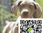 安阳哪里出售威玛猎犬威玛猎犬多少钱威玛猎犬图片