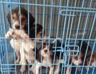 武汉短毛小型猎犬米格鲁纯种比格犬 小型伴侣犬比格犬出售