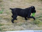 卡斯罗犬幼犬出售犬舍直销公母都有保质保量全国包邮