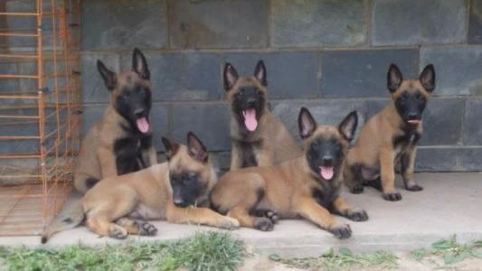纯种双血统马犬 品相一流 包健康 可签协议 上门选狗