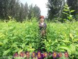 蜂糖李子苗种植多久结果新品种李子苗供应