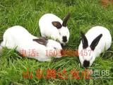 哪里能买到八点黑种兔种苗哪里有卖八点黑种兔