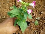 宝鸡时令花卉万寿菊矮牵牛四季海棠供应草花一串红非洲凤仙批发