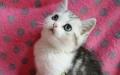 美短 美短银虎斑蝴蝶斑美短包子脸超萌宠物猫包纯