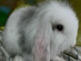 个人家养垂耳兔 超萌健康亲人 满月宠物兔 垂耳兔宝宝