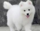 重庆哪里出售萨摩耶犬 重庆萨摩耶犬多少钱