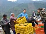 桂林临桂沙糖桔 砂糖橘种植基地 广西沙糖桔价格