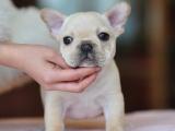 北京犬舍出售纯种赛级法国斗牛犬幼犬活体奶油白色法牛法斗宠物狗