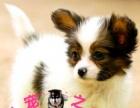 新生的小蝴蝶犬转让 小蝴蝶犬幼犬很正宗