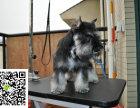 在哪里买纯种的雪纳瑞幼犬 雪纳瑞幼犬最低多少钱