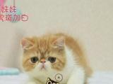 纯种健康加菲猫 包子脸肉粉粉小鼻子水滴大眼加菲猫欢