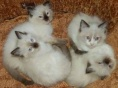 一猫在手 一生牵手 萌萌布偶猫 含泪出售