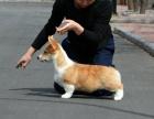 丨威尔士柯基犬丨专业犬舍丨健康保障丨颜色齐全丨