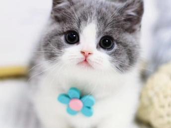本地猫舍特价出售布偶 英短蓝猫 蓝白 矮脚美短加菲渐层宠物猫