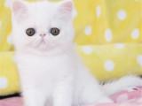 福建泉州纯血净梵加菲猫价格
