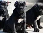 意大利纯种赛级卡斯罗幼犬出售 签协议 包纯种 包健康