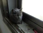 蓝猫小母1800 猫咪价格以标题价格为准