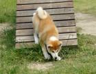 哪里有秋田犬出售 秋田多少钱 秋田好养吗