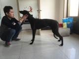北京哪里有卖猎兔犬 纯种格力犬价格鸿顺犬舍