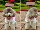 超可爱小太泰迪幼犬,娃娃脸,近期想养的朋友联系