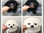 狗年特惠 较萌韩系血统泰迪 全国包邮签协议售保送大礼包