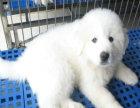 精品大白熊包纯种保健康签协议出售全国可飞可上门