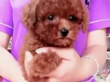 自家狗狗生的泰迪宝宝超级可爱